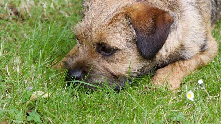 Curiosità sul Border Terrier