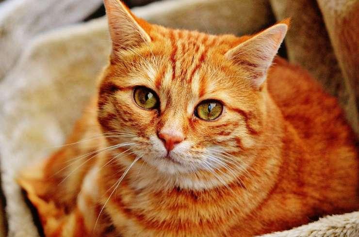 Micio arancione (Foto Pixabay)
