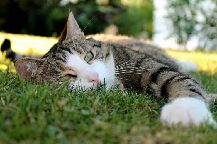 Sindrome di Wolff-Parkinson White nel gatto