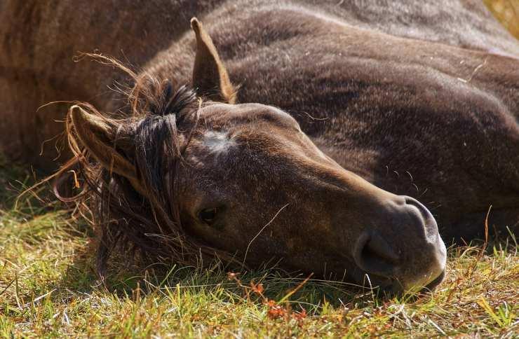 cavallo avvelenato