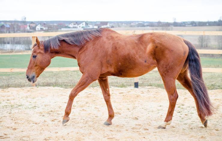 cavallo malato