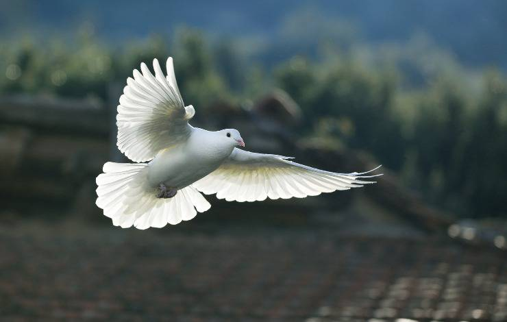 colombo pavoncello