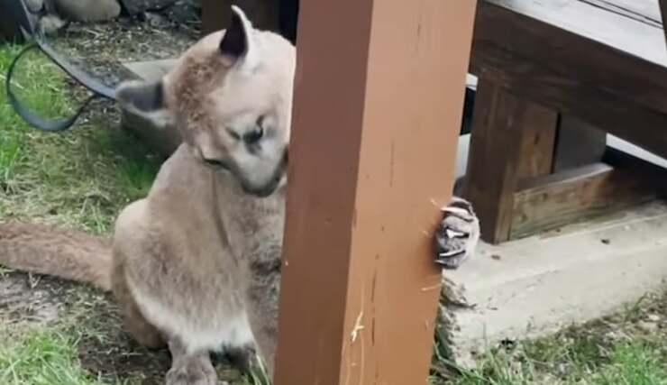 Puma (Screen Video)