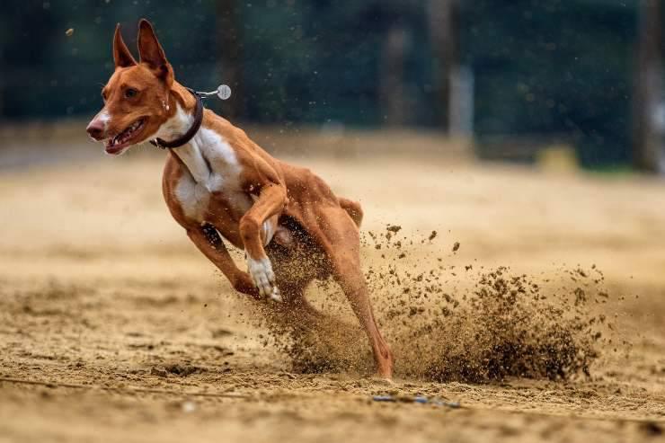 Alimentazione del cane sportivo