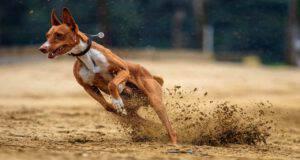 Il cane sportivo e l'alimentazione