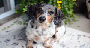 Il cane con l'artrosi e la sua dieta