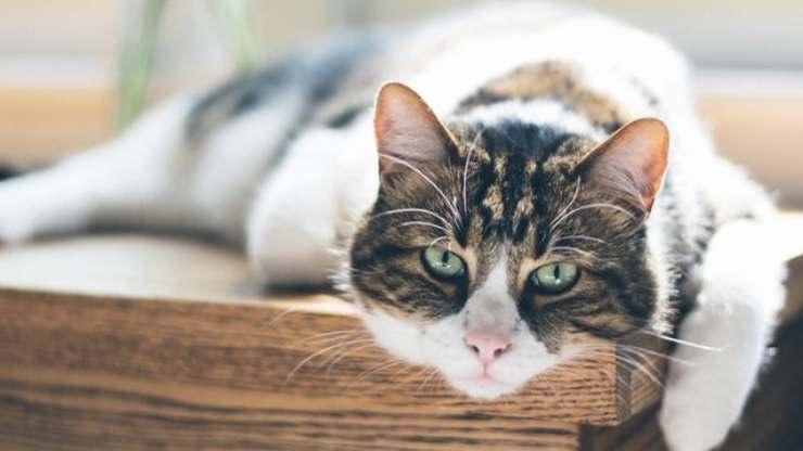 epatomegalia nel gatto