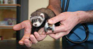 furetto dal veterinario