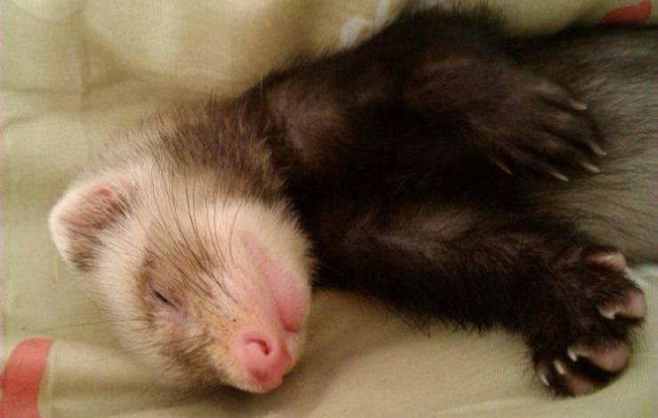 furetto dorme