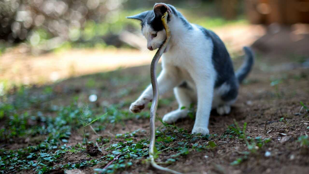 gatti paura serpenti