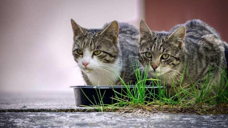 gatto può mangiare la salvia
