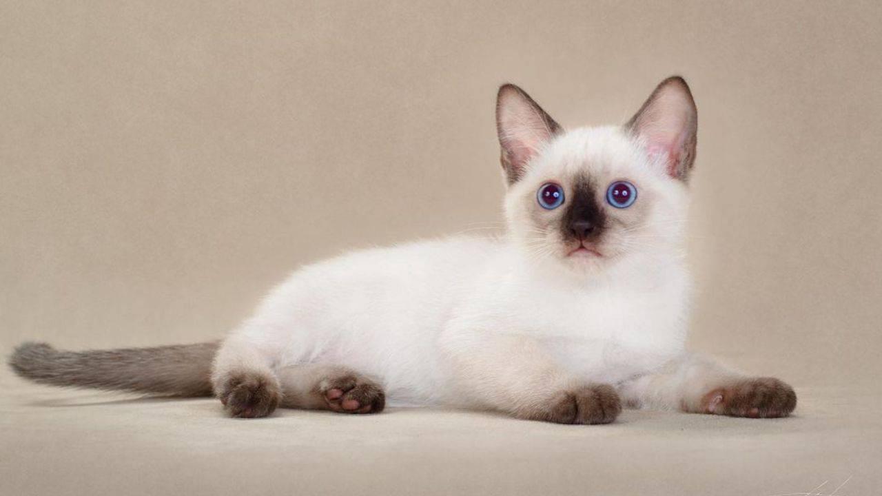 gatto thai salute