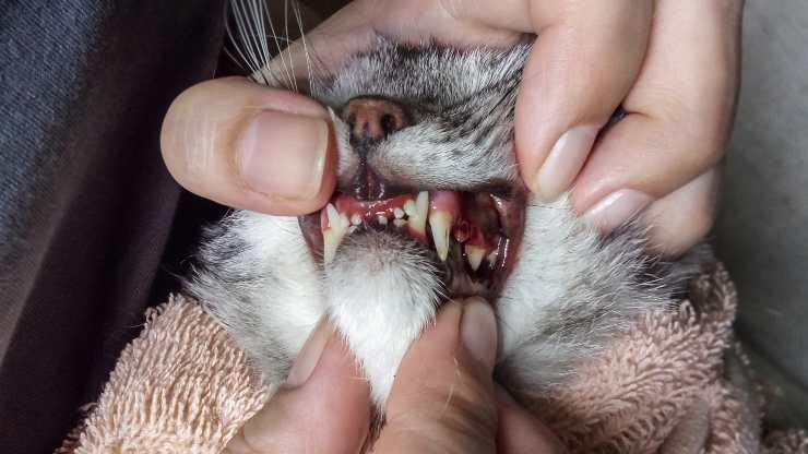 gengive nere gatto