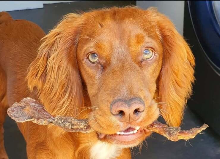 Hector il cane prima che venisse a contatto con la pianta tossica che gli ha provocato un serissimo shock anafilattico