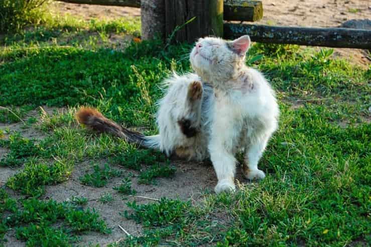 gatto sporco e denutrito (Foto Pixabay)