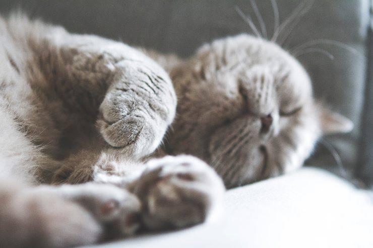 Leucemia nel gatto