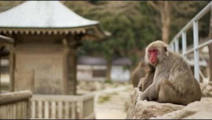 il primo Macaco femmina alpha di un gruppo di 677 macachi (Foto Instagram)