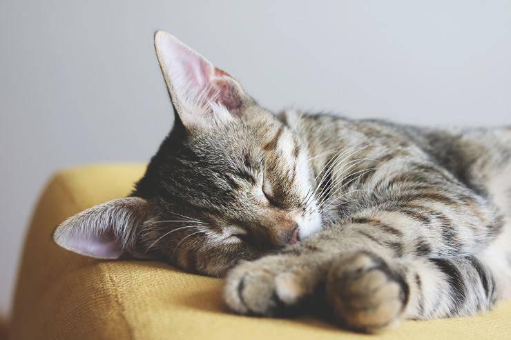 La leucemia nel felino