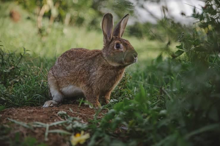 La malattia nel coniglio