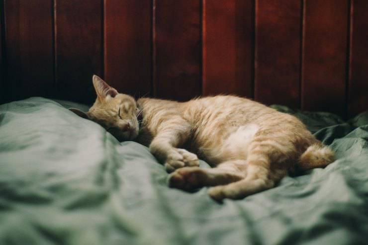 Il felino e l'avvelenamento