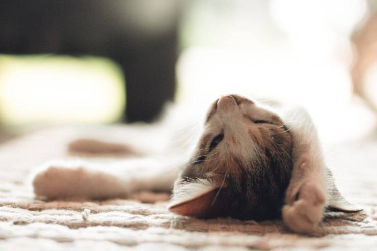 La sindrome nel felino