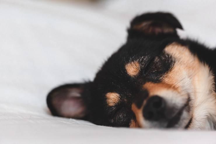 La laringite nel cane