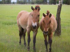 pony mongolo