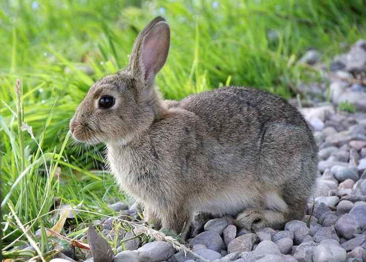 Il coniglio può mangiare il radicchio