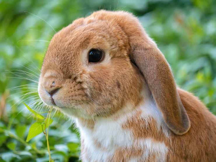 Il coniglio può mangiare l'anguria