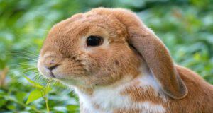 L'anguria per il coniglio