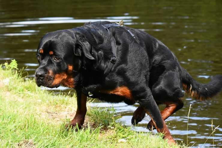 Razze di cani molto protettivi