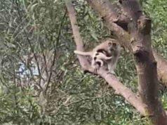 Macaco insieme al cucciolo su un albero (Screen video)