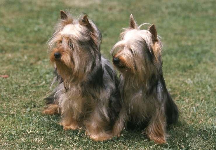 Due esemplari di Australian Silky Terrier