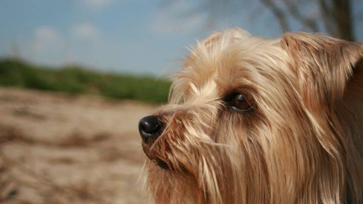 Cura del pelo dell'Australian Silky Terrier