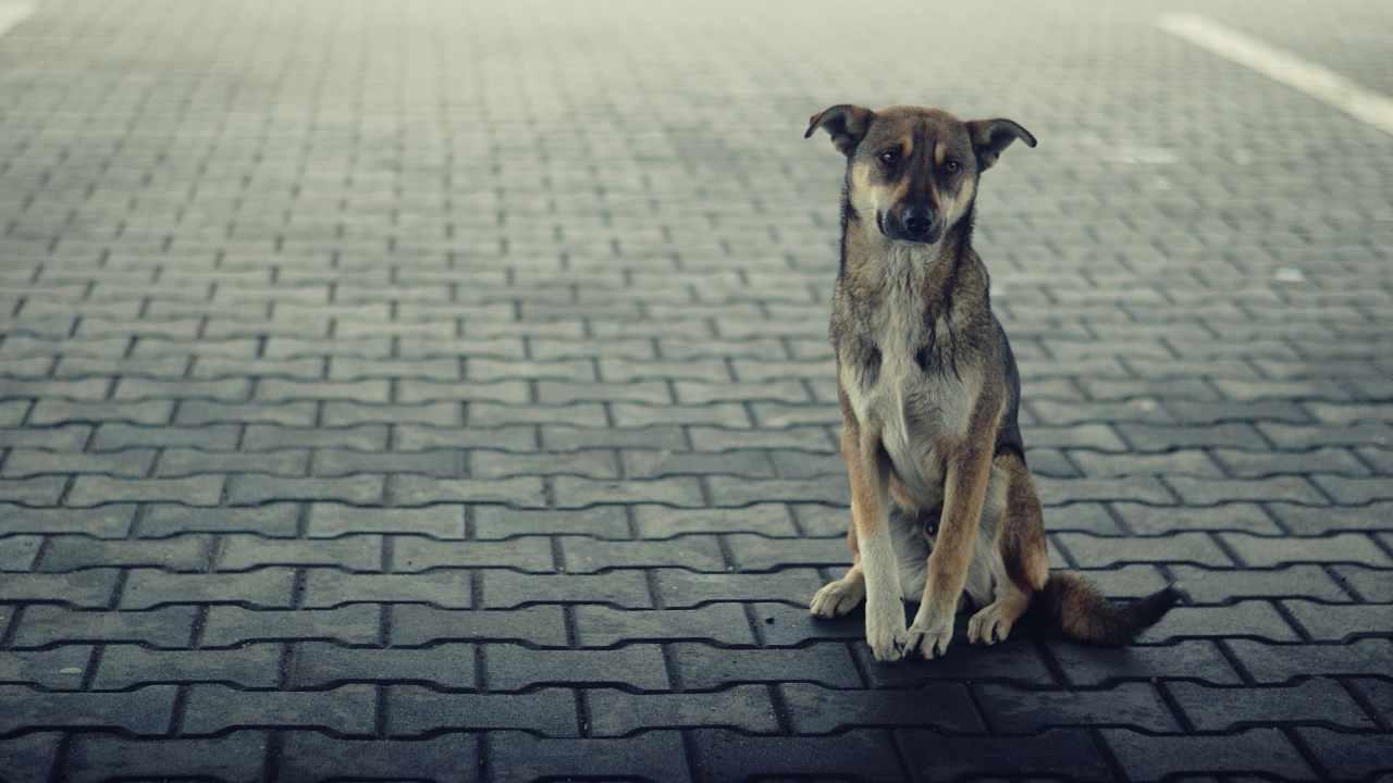 Quando un cane di proprietà è considerato vagante?