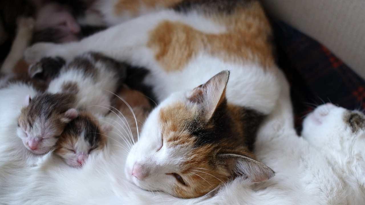 Inerzia uterina primaria nella gatta