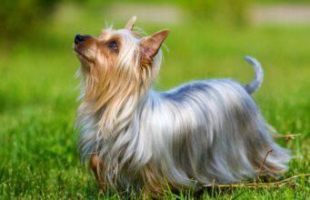 Curiosità sull'Australian Silky terrier