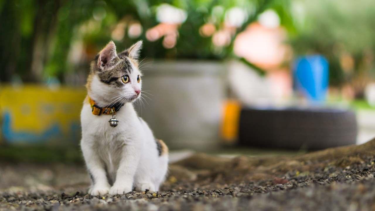 Collare o pettorina per il gatto
