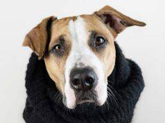 Cute dog in warm clothes concept. Close-up image of staffordshire terrier puppy in black scarf in studio background