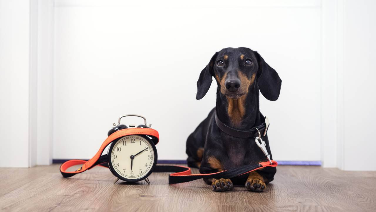 Orologio biologico del cane