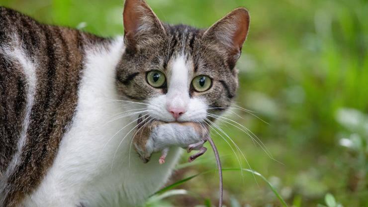 Perché il gatto porta il topo