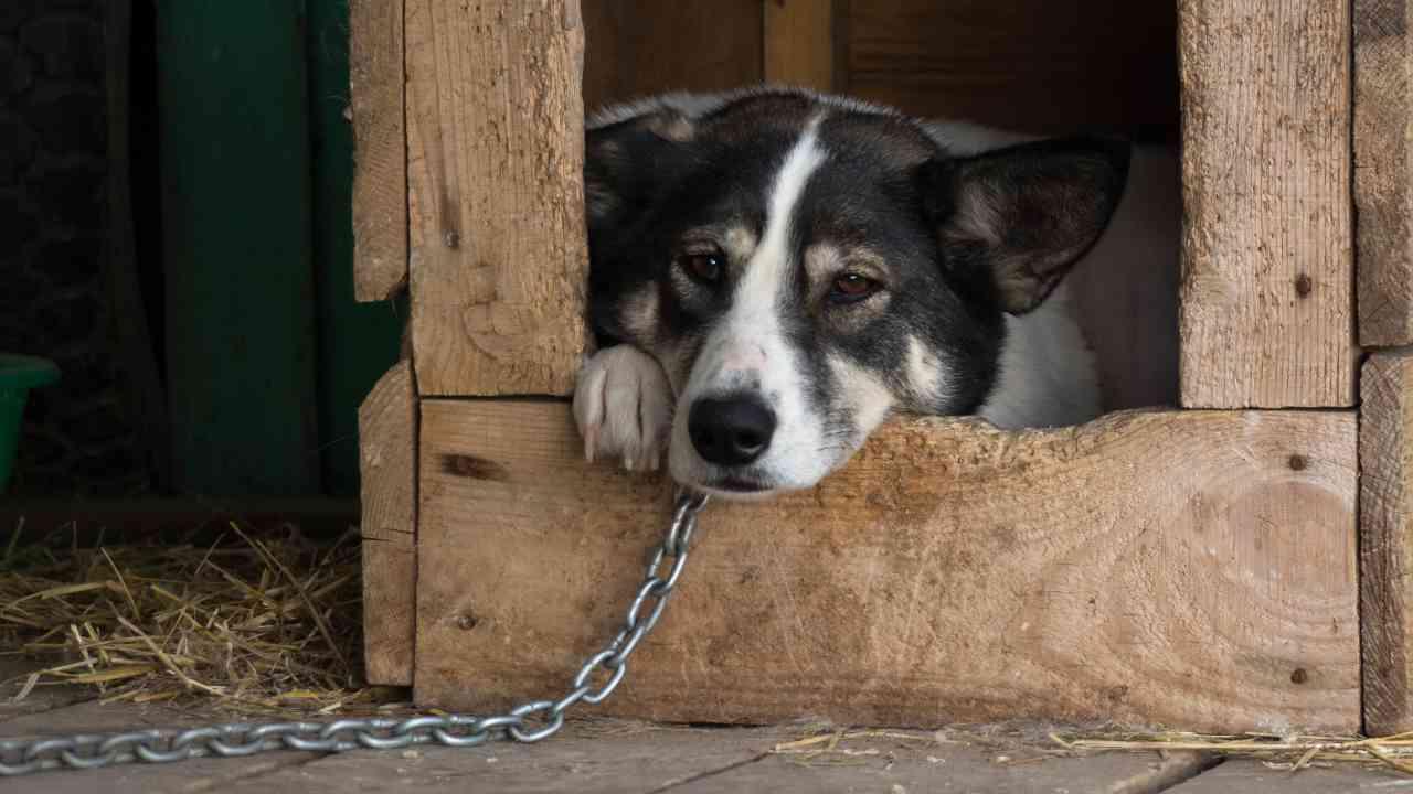 Vietato tenere cani alla catena nel Lazio