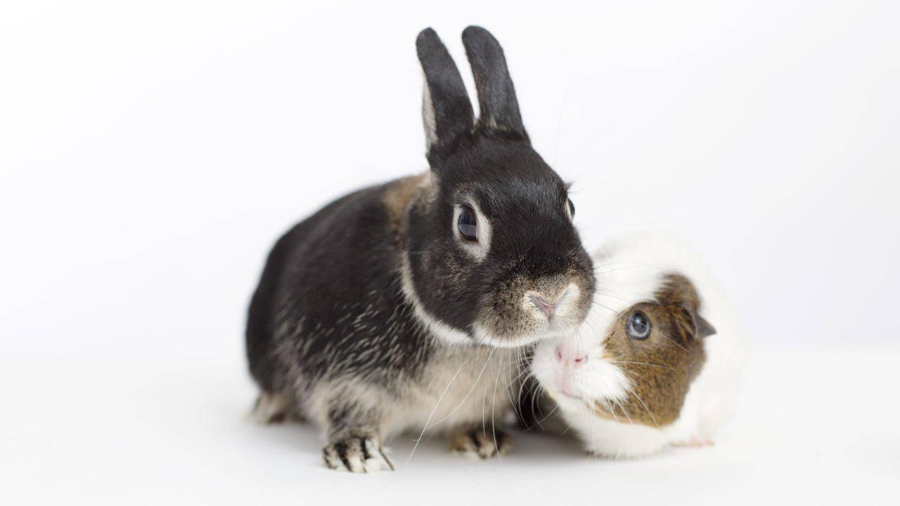 Convivenza tra coniglio e porcellino d'India