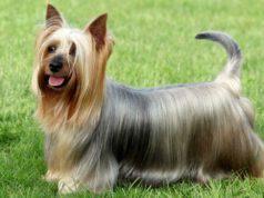 Alimentazione dell'Australian silky terrier