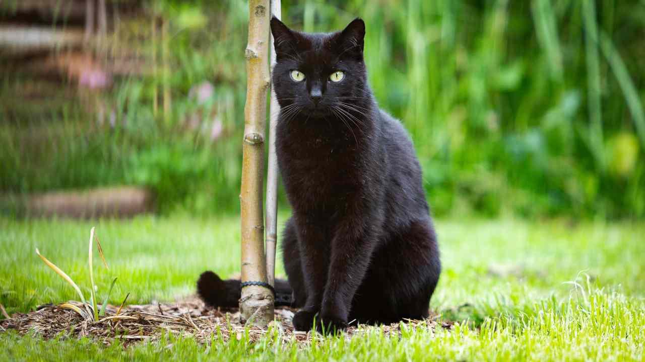 Le differenze tra gatto intero e gatto castrato