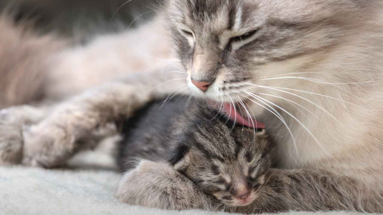 Il riflesso perineale nel gattino