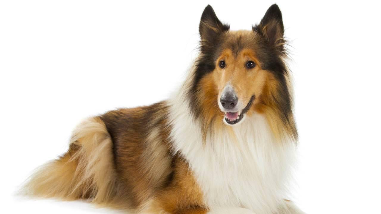 Razze canine più pelose
