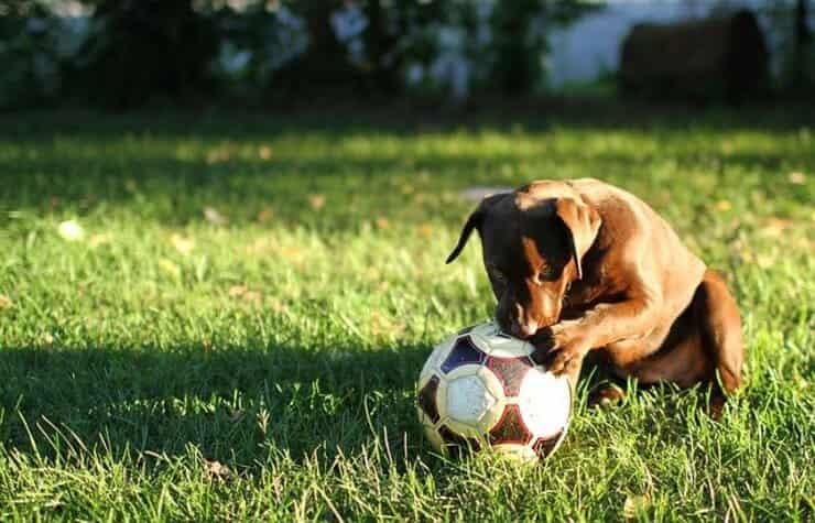 Cucciolo con pallone (Foto Pixabay)