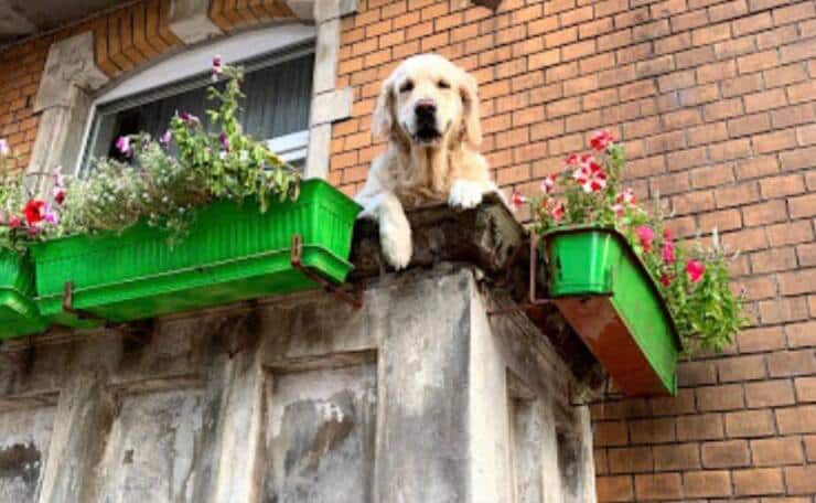 Dolce cane sul balcone (Screen Twitter)