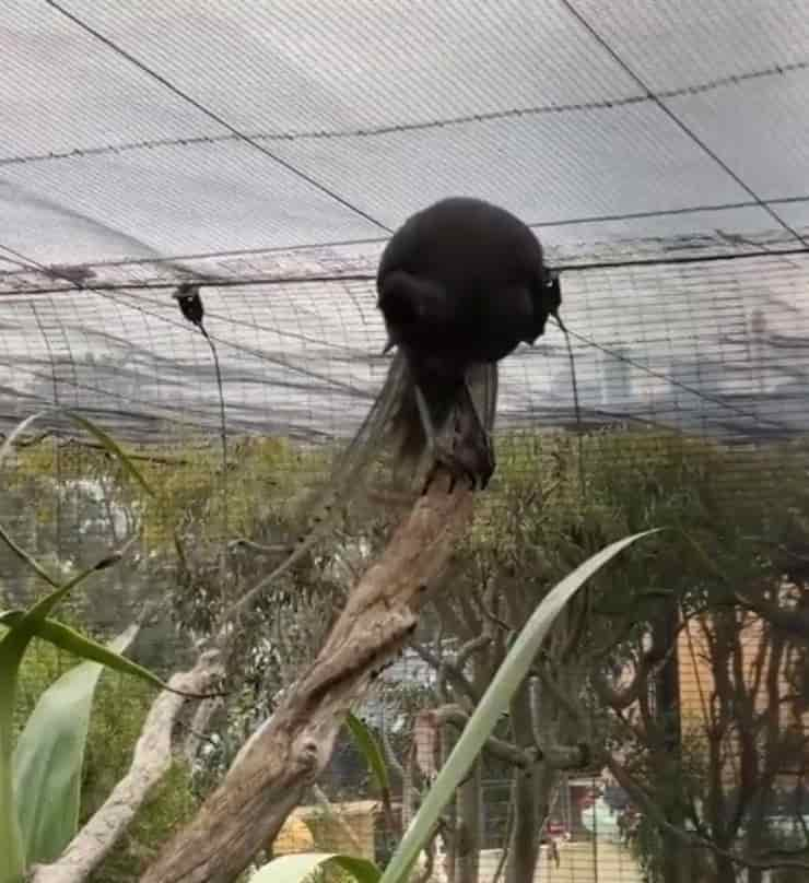 Echo allo Taronga Zoo (Screen video)